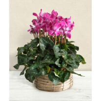 Cyclamen in basket